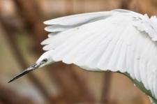 Snowy Egret (Egretta garzetta) ?